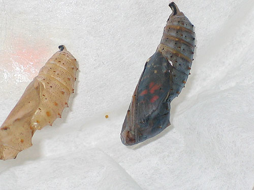 Painted Lady pupa