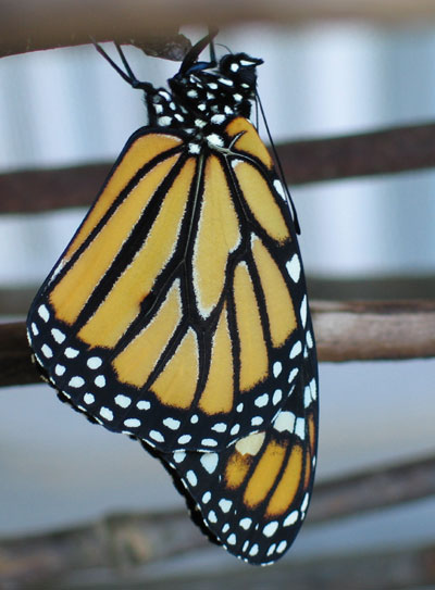 Monarch butterfly emerges