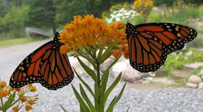 Monarch adults